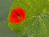 Possibly a Nasturtium variety