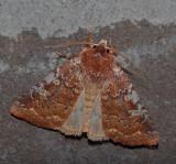 U.S. MOTHS:  Noctuidae:Cucillinae-Grotellini