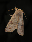 Speckled Green Fruitworm Moth (10495)