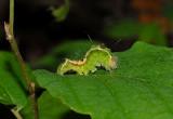 Splendid Dagger Moth Caterpillar (9226)