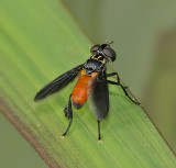 Tachinid, Feather-legged, Flesh, and related Flies