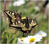 Conversations with a Swallowtail