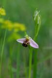 O apifera