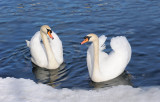 swans in lake Zeller see