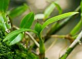 Prosthechea pygmaea
