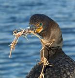 cormorant-nesting