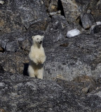 polar_bears_north_pole_