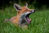 urban_fox_