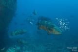 Goliath grouper spawning
