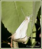 Piéride des crucifères / Mustard white / Pieris oleracea