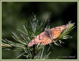 Belle Dame / Painted Lady / Vanessa cardui