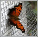 Polygone gracile / Hoary Comma / Polygonia gracilis