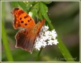 Polygone virgule / Comma / Polygonia comma