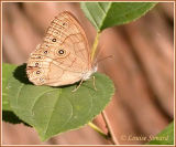 Satyre des Appalaches / Appalachian Eyed Brown / Satyrodes appalachia leewwi