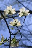 Dogwoods in Spring