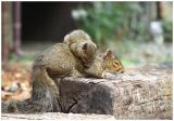 Baby squirrel learns to rock