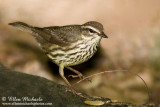 Northern Waterthrush