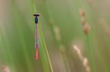 Small red damselfly (Ceriagrion tenellum)