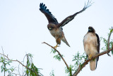Red-tailed Hawks taking off