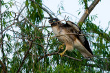 Red-tailed Hawk with branch