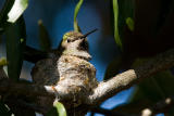 Anna's Hummingbird, female in nest