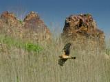 Hawks at Lake Hodges