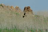 Un-cropped Hawk @ Lake Hodges