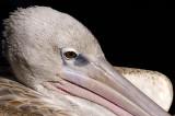 Pelican - In your Face