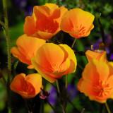 Poppies Poppies Everywhere