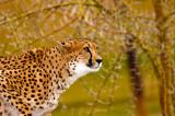 Cheetah at the ready