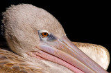 Pelican - In your Face - LR2.3