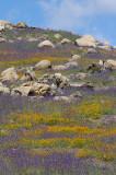 Burnt hillsides now awash in color