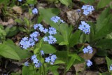 6.  Forget-Me-Nots