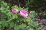 10.  The last of the Rosa Rugosa.