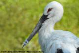 Zwartsnavelooievaar / Oriental Stork