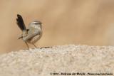 Streaked Scrub Warblers  (Maquiszangers)