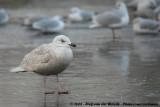 Iceland Gull  (Kleine Burgemeester)