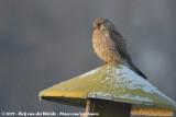 Caracaras and Falcons  (Caracara's en Valken)