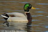Swans, Geese and Ducks  (Eendachtigen)