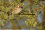 Eurasian Tree Sparrow  (Ringmus)