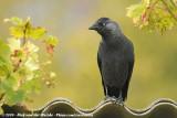 Crows  (Kraaien)