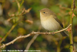 Leaf Warblers and allies  (Loofzangers)