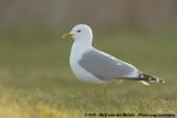 Mew Gull  (Stormmeeuw)