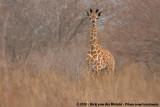 Giraffes  (Giraffen)