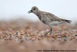 Grey PloverPluvialis squatarola squatarola