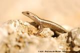 East-African Snake-Eyed SkinkCryptoblepharus africanus