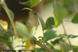 Green-Backed CamaropteraCamaroptera brachyura pileata