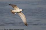 Caspian Gull  (Pontische Meeuw)