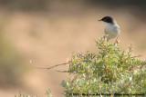 Sardinian WarblerCurruca melanocephala melanocephala