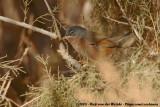 Tristram's WarblerCurruca deserticola